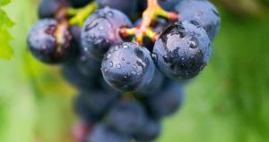 grape-2701931_1280.jpg